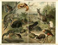 1898 = FAUNA AUSTRALE = Animali = Antica Stampa CROMOLITOGRAFIA