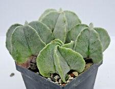 Kakteen – Kaktus – Astrophytum myriostigma 4 Stück 4 bis 5cm