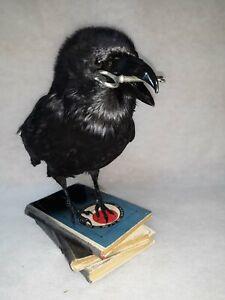 Stuffed raven key in beak Taxidermy stand with books Bird European