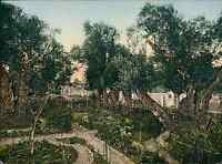 Jérusalem. Jardin de Gethsémani. P.Z. vintage photochromie.  photochromie, vin