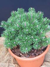 Zwergkiefer Pinus mugo Humpy 25-30cm Nadelgehölz Zwergsorte