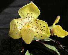 2 growths(a plant) Paphiopedilum concolor  BLOOM SIZE