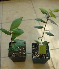 1 Laurel - Laurus nobilis (Bay laurel) - 1 Plant in pot - excellent spice