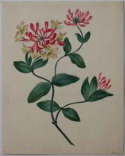 Magnifique aquarelle originale gommée 19e s. CHEVREFEUILLE signé JL Jones (?)