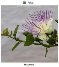 Capparis spinosa - Alcaparra - 150 semillas - Seeds