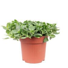 Mosaikpflanze Smit-Sortiment - Fittonia verschaffeltii - Höhe ca. 15 cm, Topf-Ø