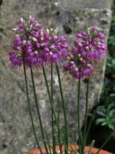 Allium Thunbergii 'Ozawa' -Hardy Perennial Alpine Rockery Plant in 9cm Pot