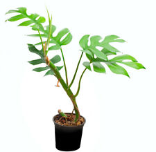 Rhaphidophora tetrasperma Rarität rare aroid Zwergmonstera Philodendron Monstera