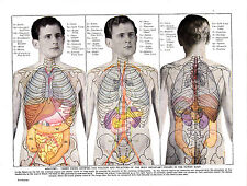 Informative medical print. Anatomy, Views of the body organs. Scarce circa 1950s