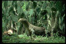 446005 Komodo Dragon rinca A4 Foto Impresión