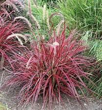 Pennisetum setaceum Fireworks 25 Seeds