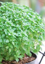 Basil Herb Seeds- Dwarf Greek- 300+ 2019 Seeds      $1.69 Max Shipping/order
