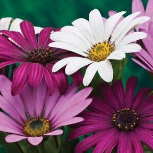 Osteospermum Hardy Collection Flowering Garden Plants 3 Jumbo Plugs T&M