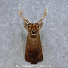 #14668 F+ | Sika Deer Taxidermy Shoulder Mount For Sale