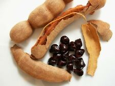 25 seed Tamarindus indica, Sweet Tamarind, Fruits Seeds, Tropical Seasonal Thai
