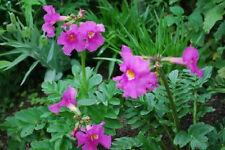 10 Cheron PINK WINTER HARDY GLOXINIA Incarvillea Delavayi Flower Seeds *Comb S/H