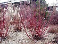 Lovely Winter Colour - Dogwood - Fresh Seeds