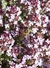 250 Graines Thym Parfume Orange Herbe Vivace Plante Aromatique