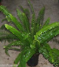 Australian Sword Fern 'Kimberly Queen': Mature Ferns: 1 Gallon Pot!