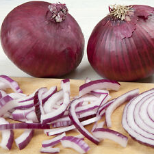 ONION Red Shine  Seeds (V 382)