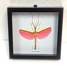 REAL PINK WINGED STICK BUG TAXIDERMY NECROSIA ANNULIPES IN BLACK SHADOWBOX FRAME