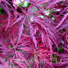 """25 Seeds !! """"Crimson Queen"""" Japanese Maple Seed"""