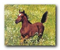 Running Arabian Horse Foal Farm Animal Wall Decor Art Print Poster (16x20)