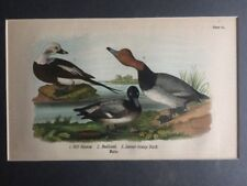 Ducks Antique Art Print Water Fowl Birds Vintage 1889 Plate #62 Matted