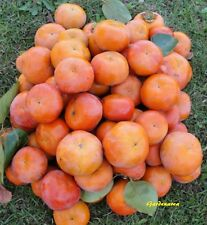 10 Graines Plaqueminier Diospyros kaki , Japanese persimmon tree seeds