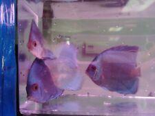 Blue Diamond Discus-Live Tropical Fish