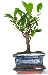 Ficus Retusa (Fig) Bonsai Tree Broom Style - supplied with ceramic drip tray .