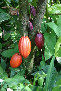 Cocoa Absolute, Theobroma Cacao Seed Extract, Chocolate, Perfume Aromatherapy