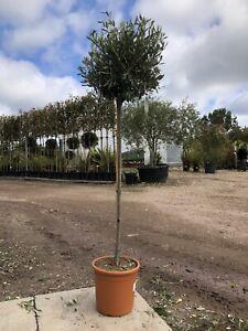 Standard Olive Tree 140cm