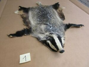 Badger skin with a head, tanned skin, fur, trophy, taxidermy, carpet, pelt