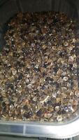 Semillas de Alforfon para loros periquitos agapornis gallinaceas palomas