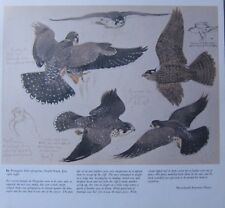 BEAUTIFUL VINTAGE BIRD PRINT ~ PEREGRINE FALCON ~ TUNNICLIFFE