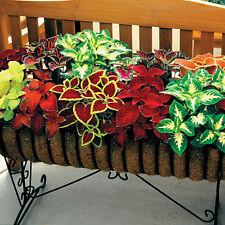 100Pcs Colorful Seeds Multi Color Grass Flower Leaves Home Garden Plants