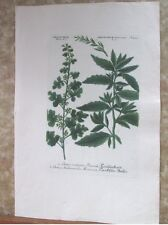 "Vintage Engraving,BOTRYS VULGARIS,C.1740,WEINMANN,Botanical,20x13.5"",Mezzotint"