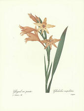 REDOUTE Botanical GLADIOLA Flower ORIGINAL Print #48