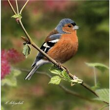 Beautiful Chaffinch photo greetings card blank suitable for all occasions