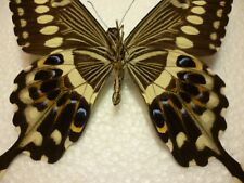 Real Dried Insect/Butterfly/Moth Non-Set..Large colourful  Papilio lormieri