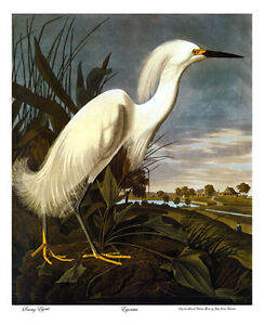 John James Audubon Snowy Egret 15x22 Hand Numbered Ltd.Edition Art Print