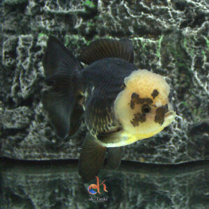 Live Goldfish Male Thai-Oranda Panda Rose tail Premium