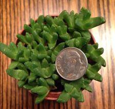 """Stomatium Bolusiae (Aizoaceae) 'Mini Tiger Jaws' - 2"""" Succulent Pot"""