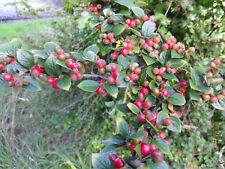 Cotoneaster AMOENUS ACE 1028-rara Pianta in vaso arbusto IN VASO 9cm