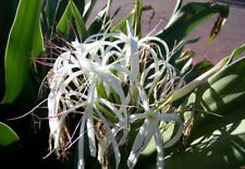 Crinum Lily, C. Asiaticum, Giant White Spider Lily 5 bulbs