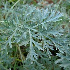 WORMWOOD 200+ Seeds MEDICINAL HERB artemisia absinthium BITTER TONIC absinthe
