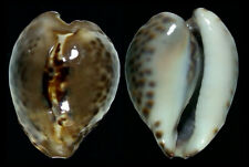 "6813 Barycypraea teulerei - 41,8 mm - f+++/GEM - Oman - NEW ""SECRET"" POPULATION!"