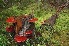 Reishi ganoderma lucidum mushroom mycelium plugs spawn 4 dowels $4.90