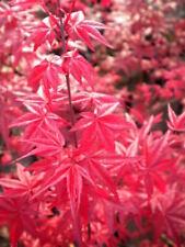 ACER PALMATUM  DESHOJO 1 pianta NON INNESTO vaso 9 cm acero giapponese rosso
